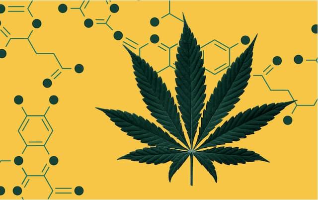 Hai loại Cannabinoid mới THCP và CBDP được các nhà nghiên cứu phát hiện