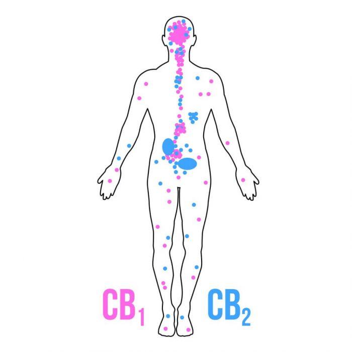 he-thong-cannabinoid-noi-sinh-cho-nguoi-moi-bat-dau-2